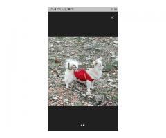 فروش سگ اشپیتز روباهی ۱ ساله
